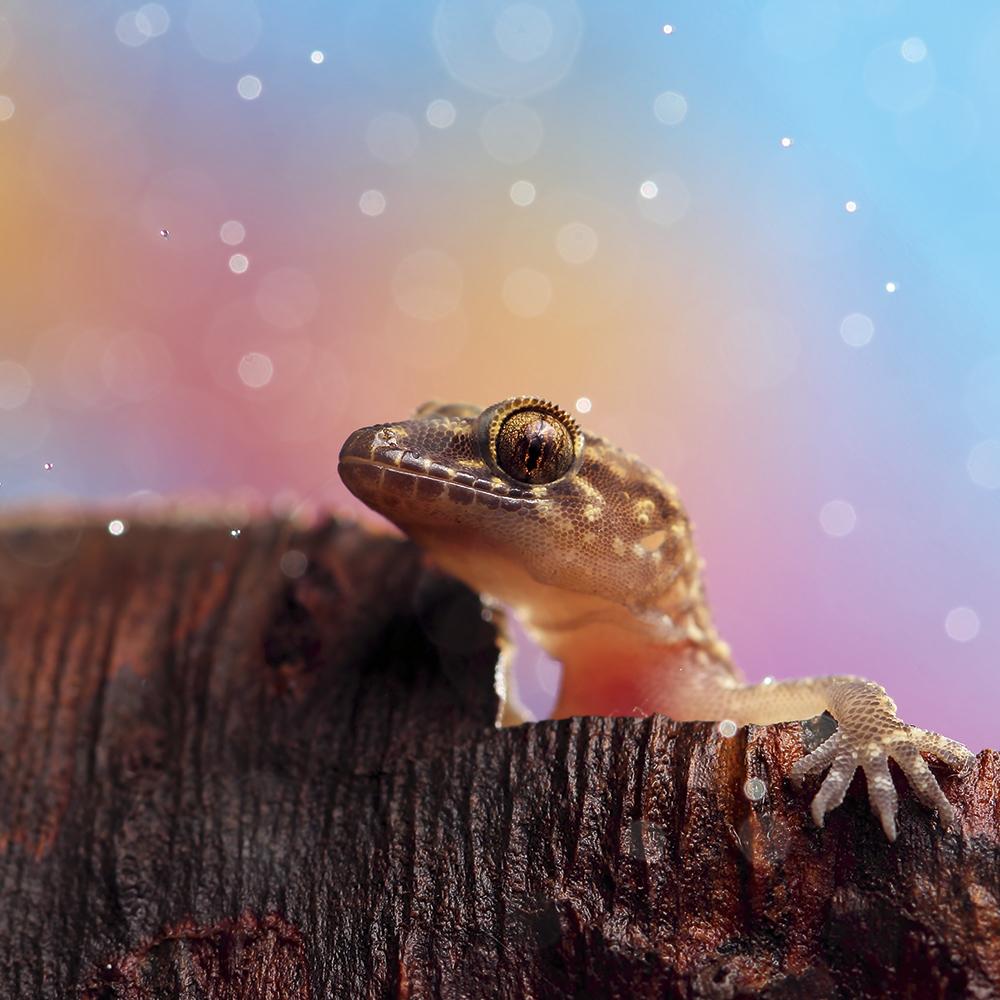 Nadav-Bagim-Smiling-gecko