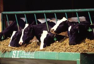 شیر نخورید چون متاسفانه شیر گاوی که امروزه در فروشگاهها حتی بدون روش پاستوریزه کردن خریداری میکنیم از گاوهای طبیعی تهیه نمیشود.