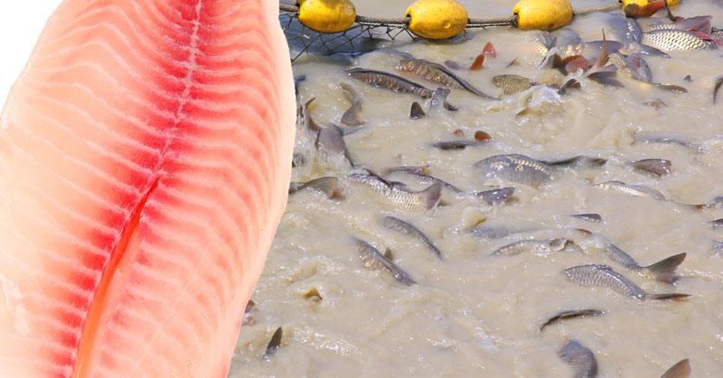 مضرات ماهی تیلاپیا