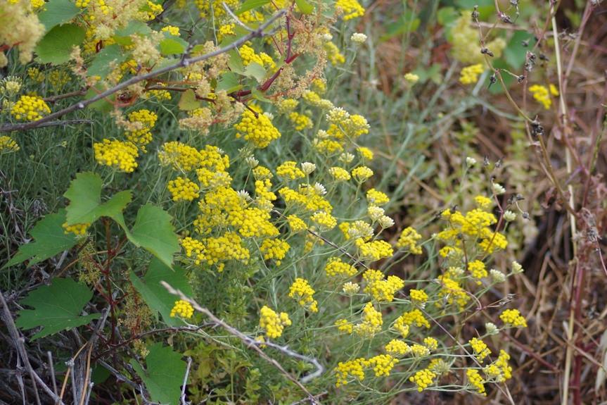 گیاه گل بی مرگ یا هلیکروسوم