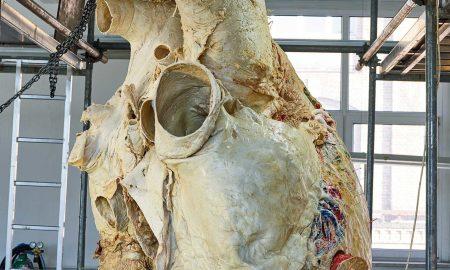 قلب نهنگ به وزن 200 کیلوگرم