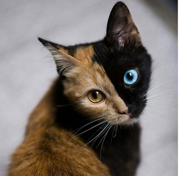 گربه دو رنگ Quimera