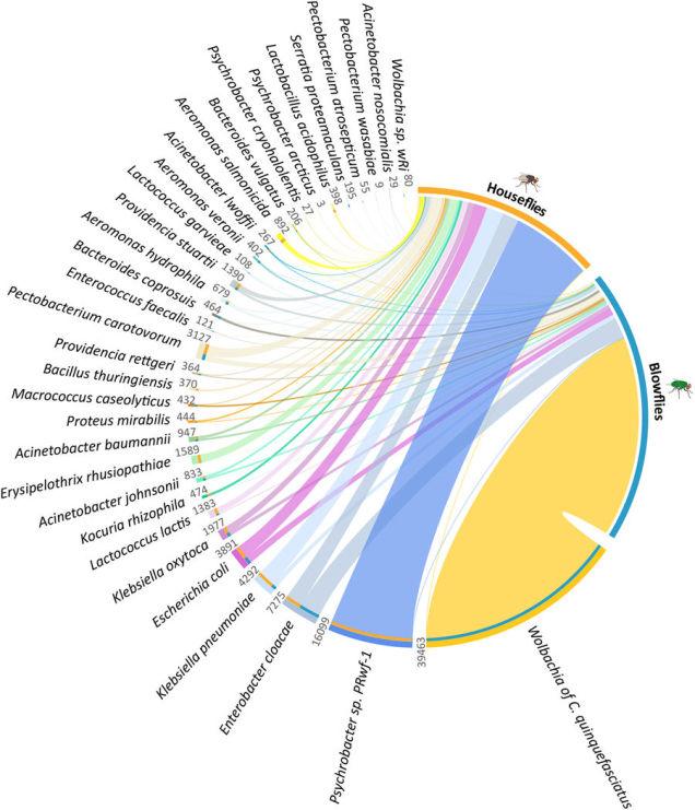 94/5000 توزیع و فراوانی 33 گونه باکتری مشترک در دو گونه مگس مورد مطالعه