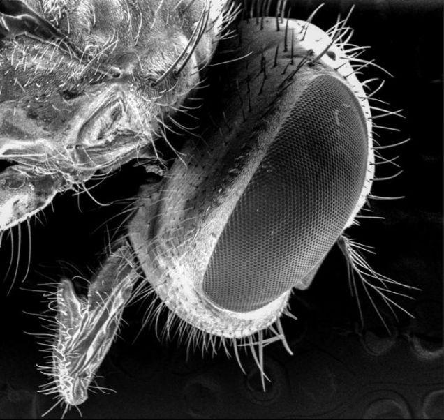مو های ریز مگس ها جایگاه مناسب باکتری ها هستند