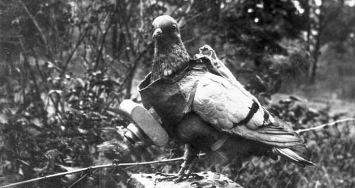 کبوتران توسط ارتش آلمان برای حمل دوربین آموزش می دیدند