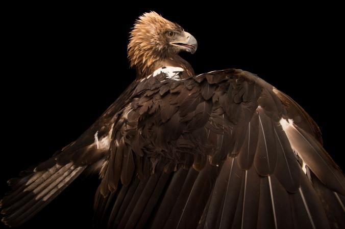 عقاب همایونی اسپانیایی، معروف به شاه باز اسپانیایی