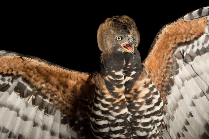 عقاب تاج دار
