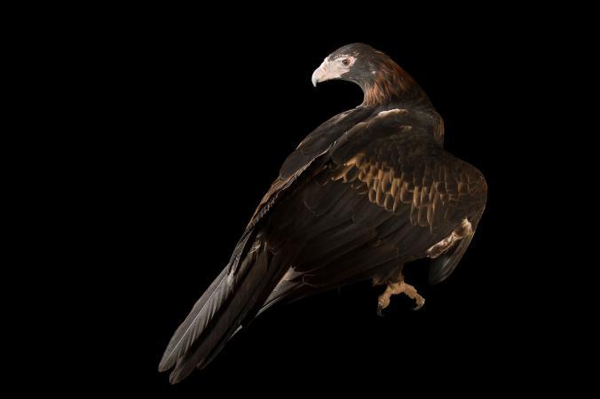 عقاب دم گوه ایی