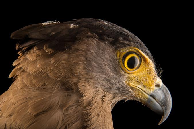 عقاب مارخور کاکلی