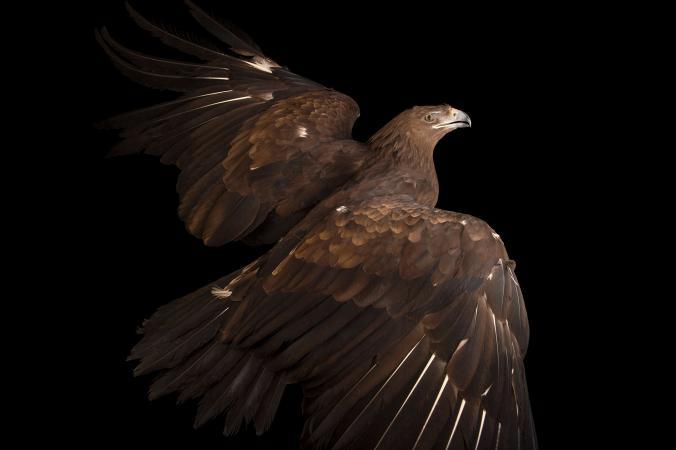 عقاب خالدار بزرگ