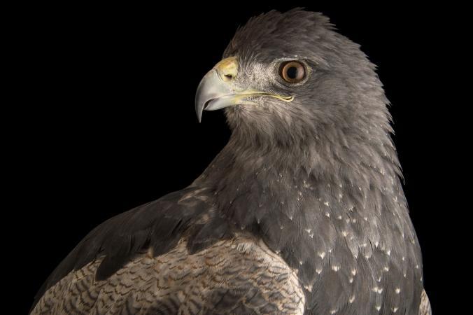 عقاب سینه سیاه