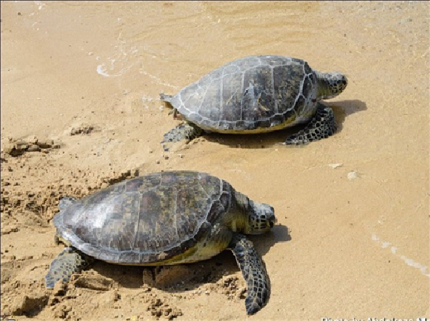 لاکپشتهای عقابی