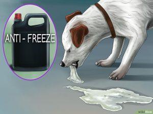 خوردن ضدیخ از مواردی است که باعث ایجاد مسمومیت در سگ ها میشود