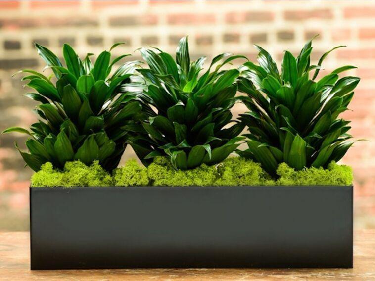 گیاه بوش (Bush) برای از بین بردن آلودگی هوای خانه