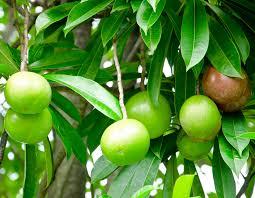 cerbera odollam معروف به درخت خودکشی
