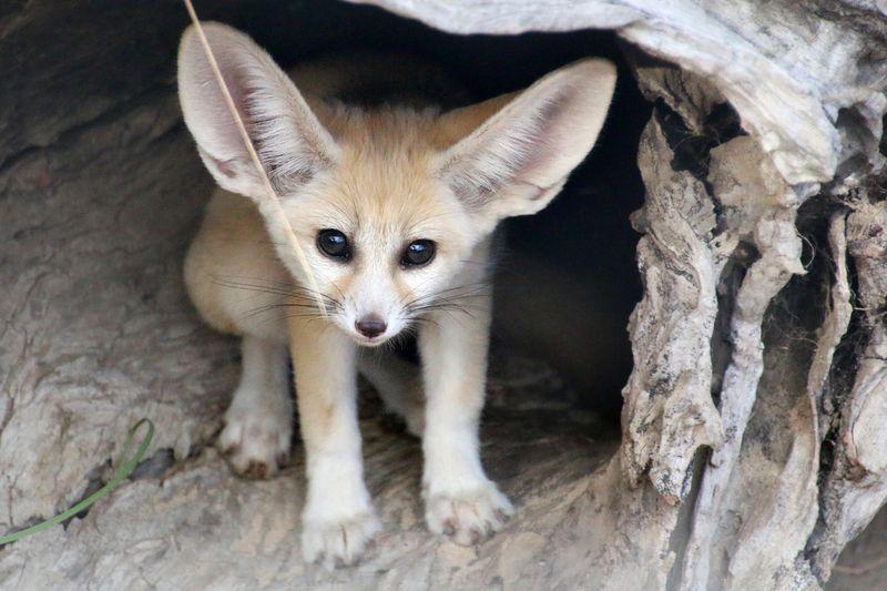 گوش های چیتاها در عمل دویدن آنها نقش مهمی دارد و آنها تنها حیوانی نیستند که گوششان وظایفی چندگانه دارد!