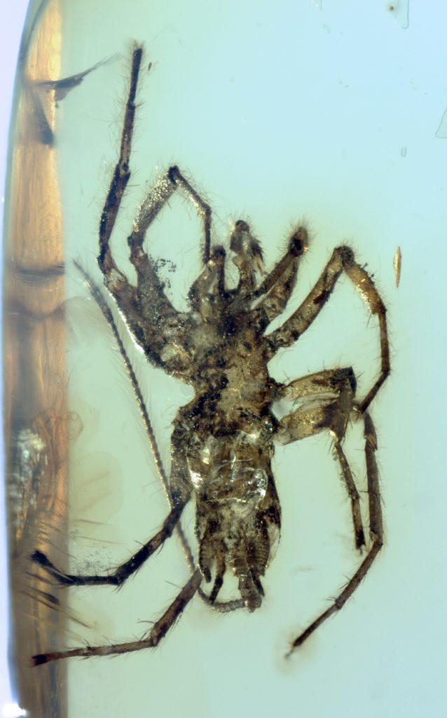 ارگان های تارریسی که در انتهای شکم این موجودات به چشم می خورد - ویژگی مشترکی که آنها با عنکبوت های امروزی دارند.