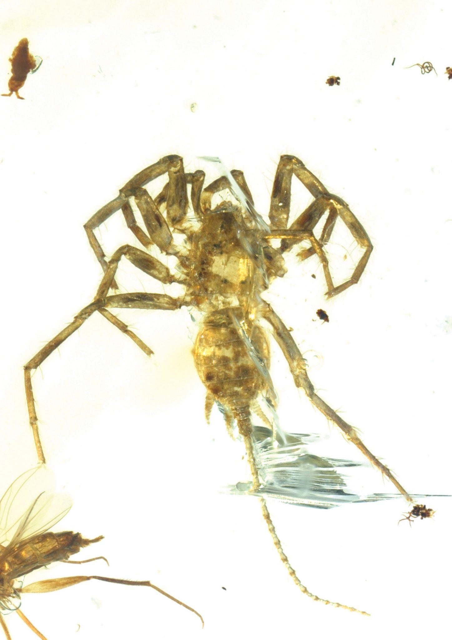 حشرات دیگری هم همراه با C. Yingi یافت می شوند، از جمله گونه ای هزارپا و سوسک.