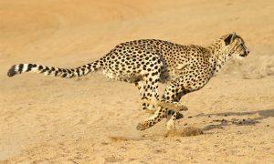 نقش عجیب گوشی های یوزپلنگ در دویدن این حیوان