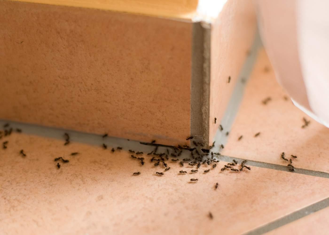 راه های طبیعی از بین بردن مورچه ها در خانه