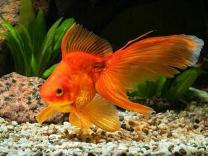 نگهداری از ماهی قرمز (گلد فیش)