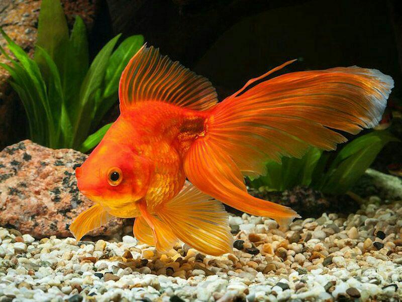 اگرچه، نگهداری ماهی قرمز در تنگ ماهی هم امکان پذیر است، اما این گونه از ماهیها آب را به سرعت کثیف میکنند و اگر آنها را در تنگ نگه میدارید، در فاصله زمانهای کوتاه تری نسبت به آکواریوم باید آب آن را تعویض کنید.