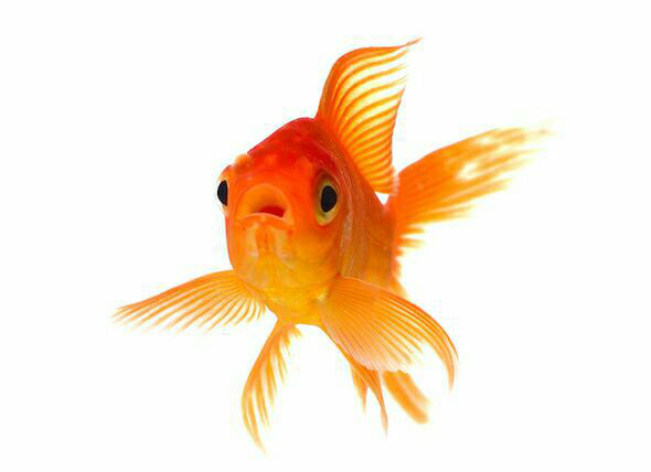 نگهداری از ماهی قرمز یا گلد فیش کار سادهای است، تنها باید با دقت به نکاتی نه چندان پیچیده دقت کنید