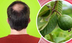 خواص برگ زیتون گواوا برای درمان طبیعی ریزش مو