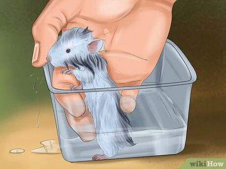 شستن همستر به آرامی با آب ولرم