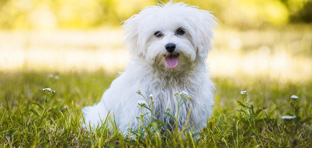 سگ مالتیز Maltese