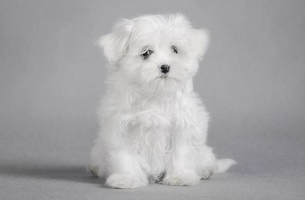 Maltese یکی از قدیمی ترین نژادهای سگ است که از ۳۰۰۰ سال پیش در زمین میزیسته اند. در اشعار رومی از آنها نام برده شده و در آلمان، مقبرههای مخصوص برای آنها ساخته اند.