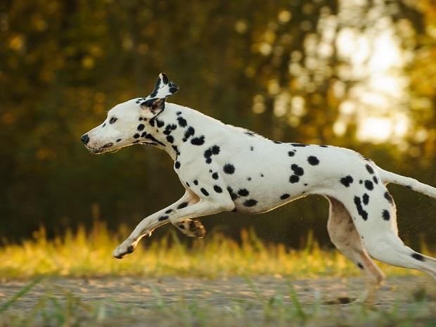 سگ دالمیشن دارای گردن قوی، طاقدار، سینههای عمیق و پشت هم تراز و صاف هستند. دمشان از پشت آنها گسترش مییابد و کمی به سمت بالا پیچ میخورد، دارای پاهای بلند، عضلانی و گرد هستند.