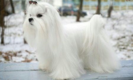سگ نژاد مالتیز