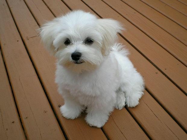 سگ مالتیز Maltese یکی از قدیمی ترین نژاد سگها میباشد که به دلیل ظاهر منحصر به فرد و زیبا و همچنین خصوصیات اخلاقی آرامی که برای زندگی در آپارتمان مناسب است،