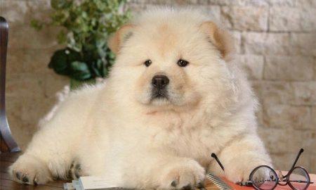 آشنایی با خصوصیات و ویژگی های سگ نژاد چائوچائو
