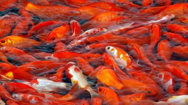 این ماهی سالهاست که به یکی از سنتهای ایرانیها جهت چینش سفره هفت سین بدل شده است!