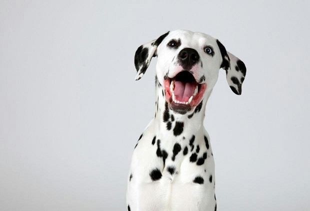 سگ دالمیشن آموزش دیده و اجتماعی میتواند ثابت کند که هم نجیب و هم بزرگ منش هستند و میتواند رفتارهای خوب و آرام، حتی در اطراف غریبهها داشته باشد.