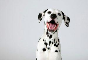سگ نژاد Dalmation