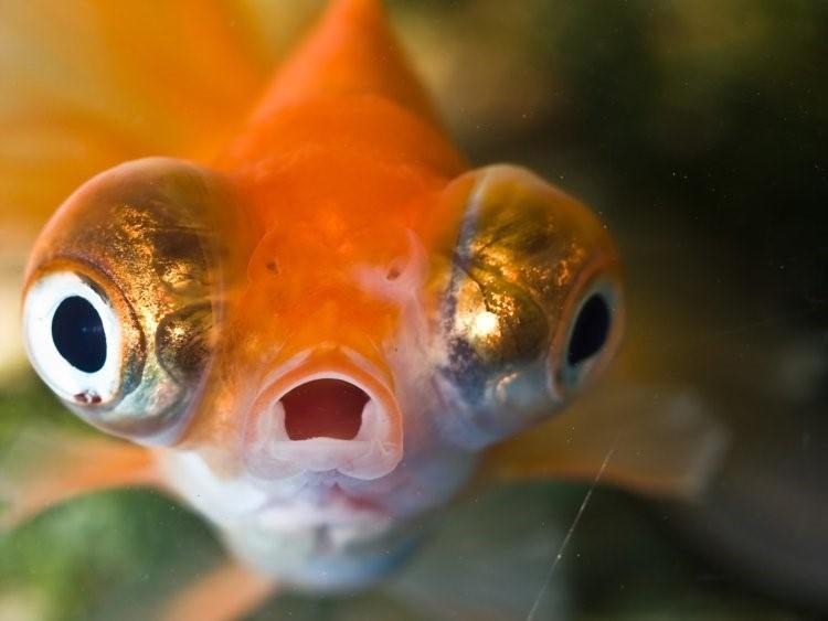 ماهی قرمز گولد فیش