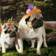 آشنایی با سگ نژاد پاگ و هر چه که باید در مورد آن ها بدانید