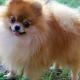 آشنایی با سگ نژاد پامرانین و هر چه که باید در مورد آن ها بدانید