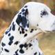 سگ دالمیشن یا Dalmatian