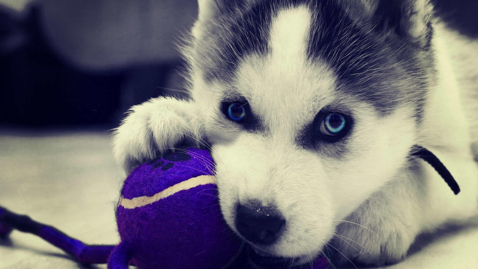 سگ نژاد سیبرین هاسکی