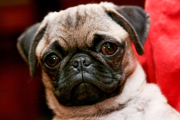 پاگها برخلاف قیافه اخمویی که دارند، جزو سگهای اسباب بازی دسته بندی میشوند و خون گرم هستند.