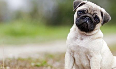 سگ پاگ Pug