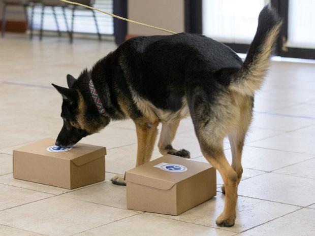 ویژگیهای نژادی سگ ژرمن در سال ۱۹۰۱ بهبود یافت و پس از ۶ سال یعنی در سال ۱۹۰۷ وارد آمریکا شد و به کمک انجمن هایی مثل باشگاه سگهای ژرمن شپرد آمریکا توانست شهرت بسیاری کسب کند.