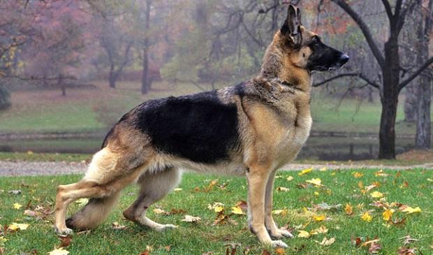 سگهای ژرمن شپرد دارای غریزهای قوی و ذهنی باهوش هستند. فعالیتها و ورزشهای بسیاری میتواند آنها را شاد و سرحال کند، اما ردیابی، اطاعت و بازیهای مهارتی -و یا هر گونه فعالیت دشوار- حتی میتواند باعث خوشحالی بیشتر آنها شود.