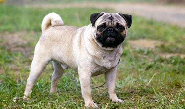 نگهداری از سگ پاگ بسیار آسان و راحت است. پاگها تمایل زیادی به خوردن و چاقی شدید دارند پس باید رژیم غذایی مناسب و ورزش کافی را داشته باشند. پوزه کوتاه آنها در آب و هوای گرم و مرطوب به خوبی عمل نمیکند و باید مراقب بالا نرفتن دمای بدن آنها باشید.