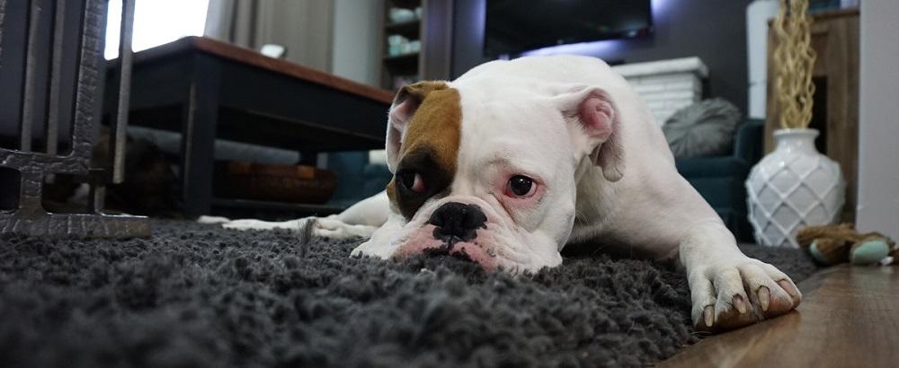 بوی سگ: چگونه بوی بد سگ را در خانه از بین ببریم؟