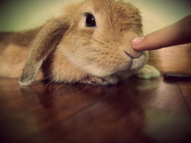 هیچگاه نباید خرگوشها، با سگ یا گربه در یک خانه باشند. زیرا خرگوشها به طور طبیعی ترسو هستند و این امر باعث ایجاد ترس در اطراف آنها و احساس ناخوشایند برایشان میشود.